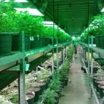 A marijuana grow operation in Colorado. (Photo via Pixabay)